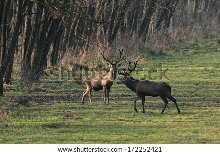 Two male red deer ( cervus elaphus) standing at the edge of a forest at sunrise.Deer photographed in the early morning at sunrise.