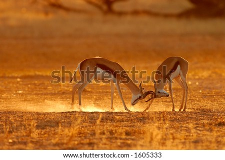 Two male springbok antelopes (Antidorcas marsupialis) fighting for territory, Kalahari, South Africa