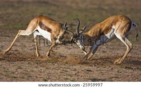 Two male Springbok fighting during mating season ; Antidorcas marsupialis; Kalahari; South Africa
