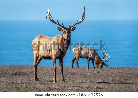 Two male Tule Elk (Cervus canadensis nannodes) bulls graze the grassy hillsides of Point Reyes National Seashore preserve, near Drake's Beach, in Marin County, California, with view of Pacific Ocean. Imagine de stoc ©