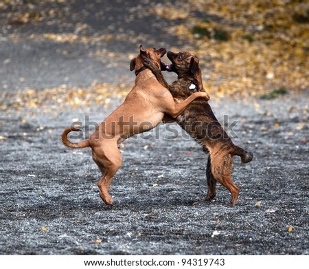 Two males dogs playing with teeth
