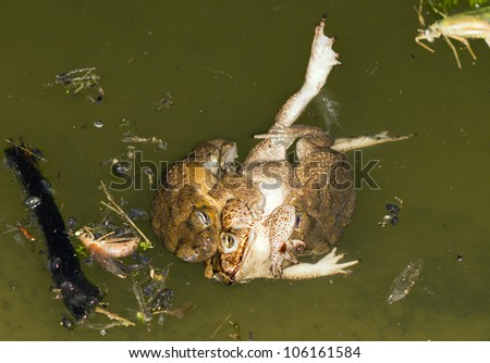 Two males trying to mate with a  female cane toad (Bufo marinus) in a rainforest pool, Ecuador