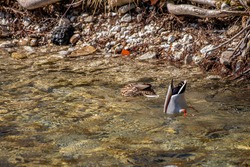 Two mallard duck nose diving in river