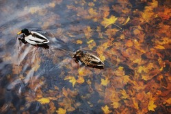 Two mallard duck on water in dark pond with floating autumn or fall leaves, top view. Funny pair pet sympathy, valentine romantic lovebird, forever inseparable, like nest, sweet romance, love concept