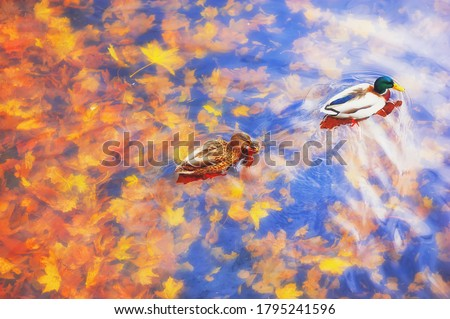 Two mallard ducks on a water in dark pond with floating autumn or fall leaves, top view. Beautiful fall nature . Autumn october season animal, landscape background. Vibrant red orange nature colors