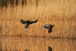 Two mallards, in latin Anas platyrhynchos, in flight before landing on the calm water of lake. Male bird is drake with glossy green head and female bird is hen or duck with brown speckled plumage.