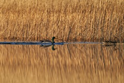 Two mallards, in latin Anas platyrhynchos, male bird is drake with glossy green head and female bird is hen or duck with brown speckled plumage swimming along reeds in sunny spring morning in Czechia.