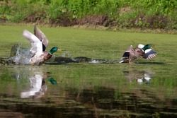 Two Mallards taking off in flight in a swamp.
