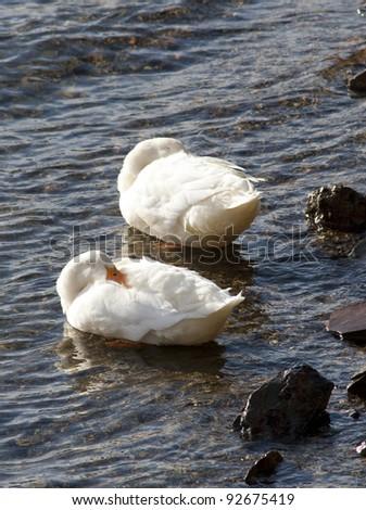 Two mallards with beaks buried.