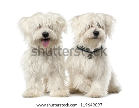 Two Maltese dog, 2 years old, sitting against white background