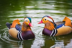two Mandarin ducks swimming in a pond