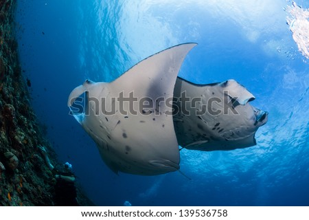 Two manta ray crossing while cleaning in maldives dive site