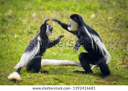 Two Mantled guereza monkeys, also called Colobus guereza, fighting in grass
