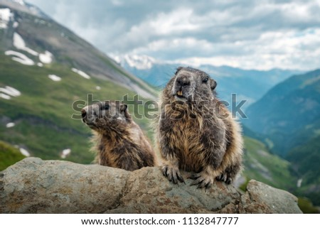 Two marmots and a beautiful view near Grossglockner.