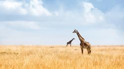 Two Masai Giraffe in the tall grasslands of Kenya, Africa with big open blue sky