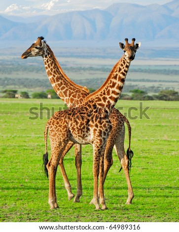 Two masai giraffes in Serengeti national park