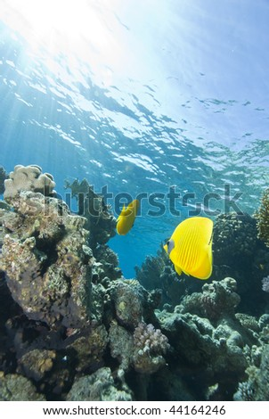 Two Masked butterflyfish (Chaetodon semilarvatus) swimming over a tropical coral reef. Red Sea, Egypt.