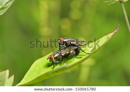 Two mating flies, close-up images
