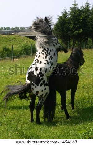 Horse Breeding Human Female http://www.shutterstock.com/pic-1454163/stock-photo-two-mating-horses.html