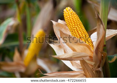 Two mature yellow cob of sweet corn on the field. Collect corn crop. #472266655