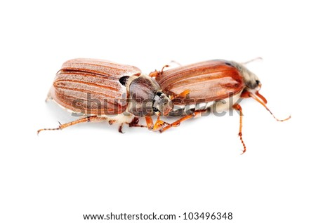 Two May-bug also cockchafe ,tree beetle, (Melontha Vulgaris) isolated on the white background