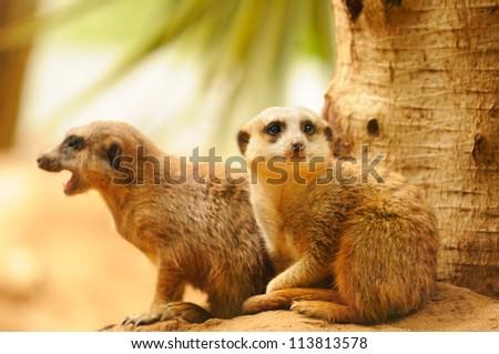 Two meercats sitting near tree
