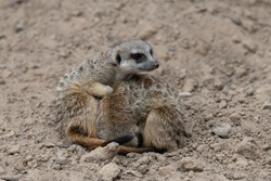 Two Meerkat cuddling for warmth, one meerkat curled up and the other meerkat being alert for threats, looking about