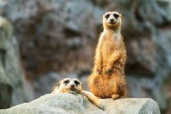Two meerkats on the rocks