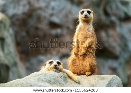 Two meerkats on the rocks