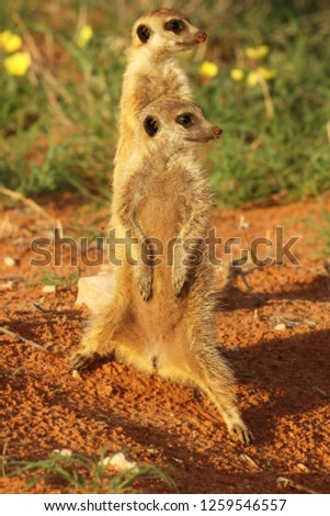 Two Meerkats (Suricata suricatta) Timon in Kalahari desert staying on red sand close to burrow watching around. Morning sun. Patrol.