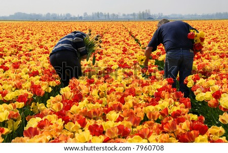 Two men picking flowers in a Dutch tulip field in the Netherlands