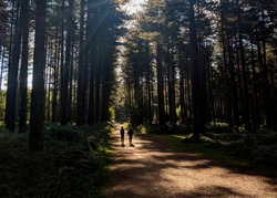 Two men walking through the beautiful pine trees in Sherwood Forest, Nottinghamshire
