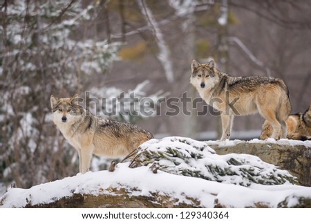 Two Mexican gray wolves (Canis lupus) in the snow