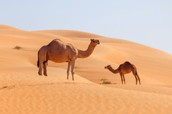 Two middle eastern camels in a desert