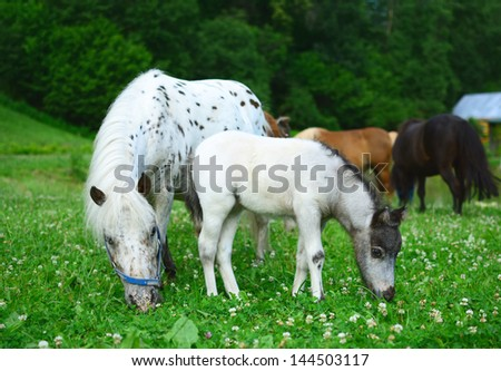 Two mini horses Falabella, mare and foal, graze on meadow in summer, selective focus