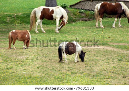 Two miniature ponies are fenced besides two full sized horses.  All are enjoying the fresh green grass of spring in western Tennessee.