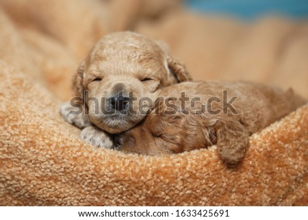 Two miniature red poodle puppies are sleeping