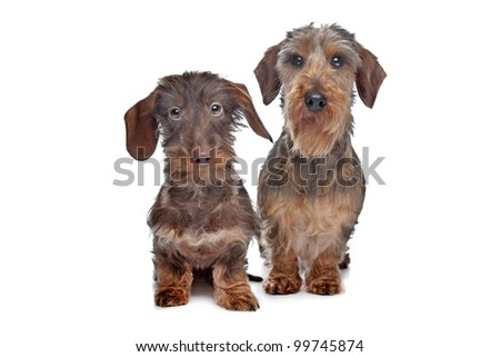Two miniature Wire-haired dachshund dogs in front of a white ...