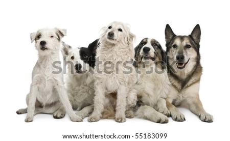 Two mixed-breeds, border collie, Australian shepherd, parson russel terrier, in front of white background