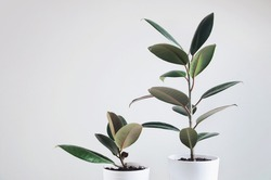 Two modern houseplants with Ficus plant in white pot , Ficus Elastica Burgundy or Rubber Plant
