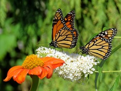 Two Monarch butterflies and flowers in garden on bank of the Lake Ontario in Toronto, Canada