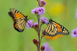 Two monarch butterflies (Danaus plexippus) preparing for their fall migration to Mexico by nectaring on a northern prairie blazing star flower (Liatris ligulistylis).  One butterfly is fluttering.