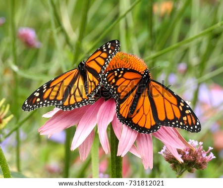 Two Monarch Butterflies with wings spread on a Pink Cone Flower Stock photo ©