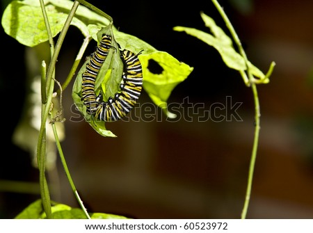 Two Monarch caterpillar eating.