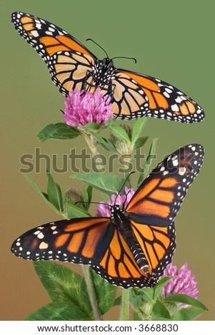 Two monarchs are perched on clover.