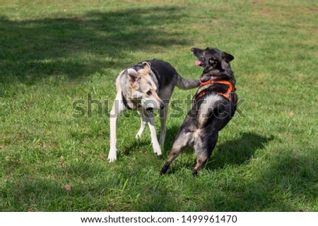 Two mongrels from the dog shelter are playing on a green meadow. #1499961470