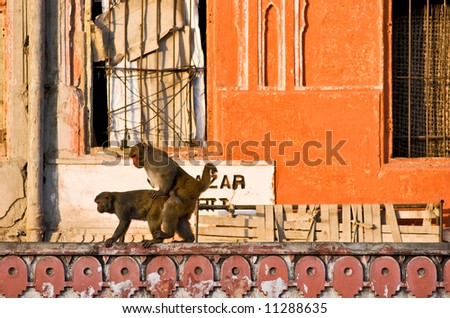 stock photo : Two Monkeys having sex, Jaipur, Rajasthan, India.