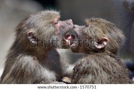two monkeys kissing