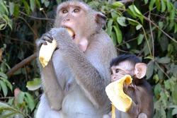 two monkeys mom and cub eat bananas grey yellow green cambodia thailand india asia