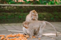 Two monkeys while feeding in a Park in Ubud. Monkeys are fed carrots. Monkeys in their natural habitat. Monkey forest in Ubud.